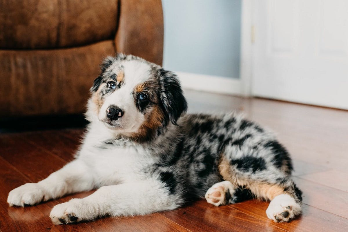 Australian Cattle Dog puppy sitting inside near a couch