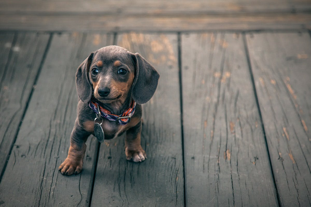 Baby daschund with large flopping ears