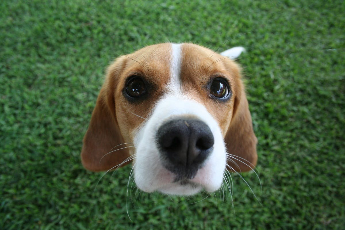 Close-up of a beagle dog in the grass