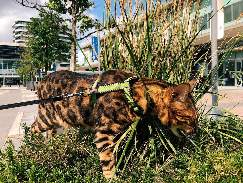 Bengal cat smelling grass while wearing a leash harness