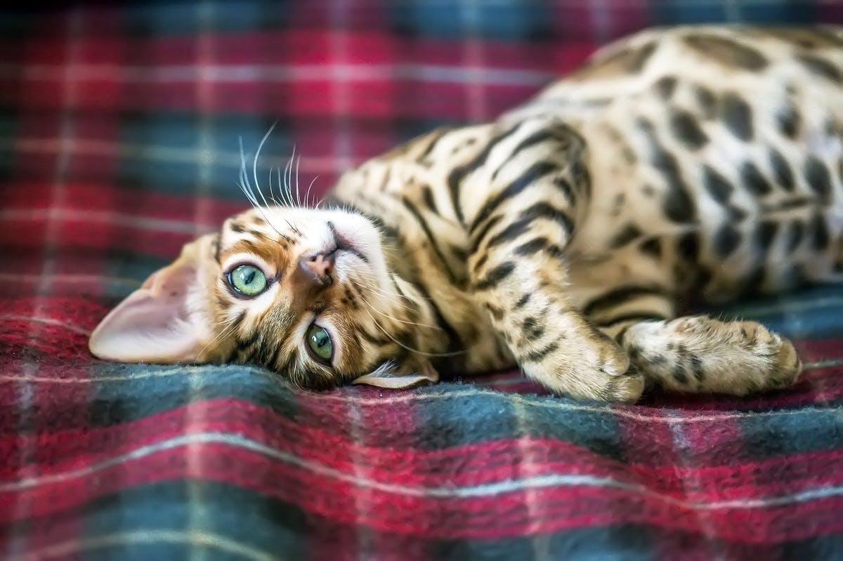 A Bengal kitten rolls around on a plaid blanket