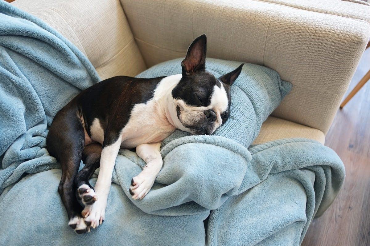A black & white dog snoozes on blue blankets