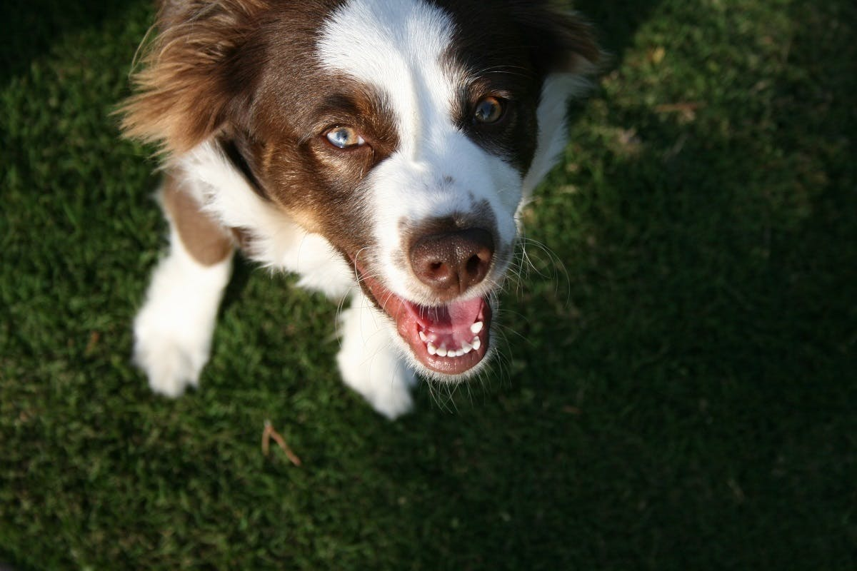 A black & white dog in the grass smiling at the camera
