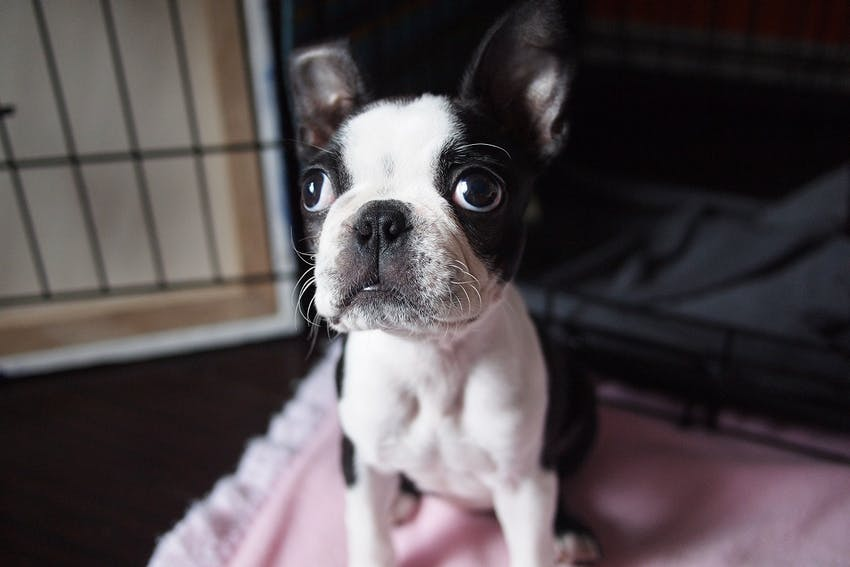 Black and white puppy in a crate for training