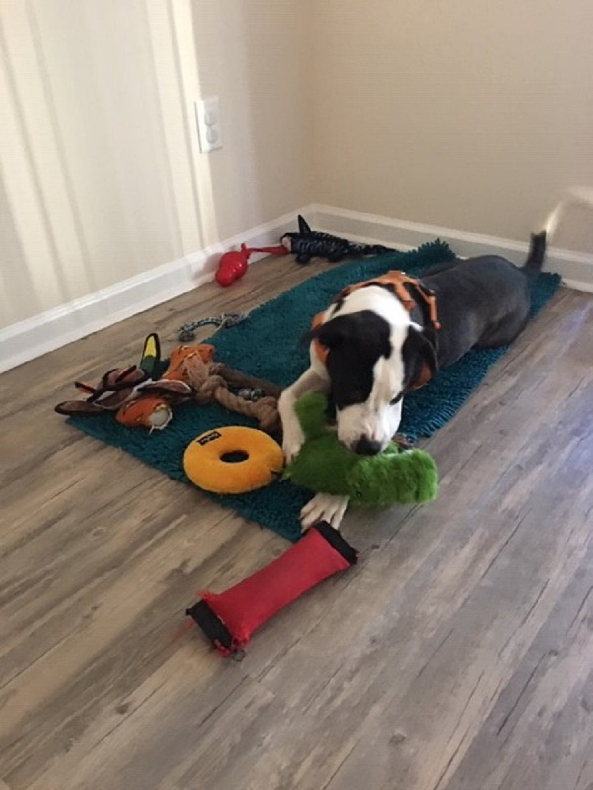 Puppy Bosch with his toys
