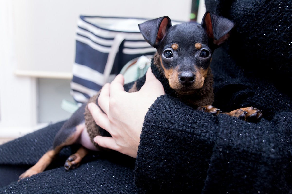 A brown and black dog sitting in his owners lap