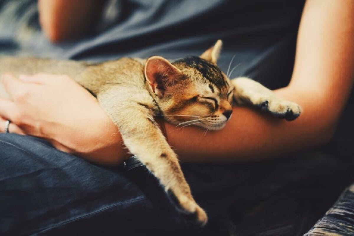 A fuzzy brown cat snuggled in his owners arms