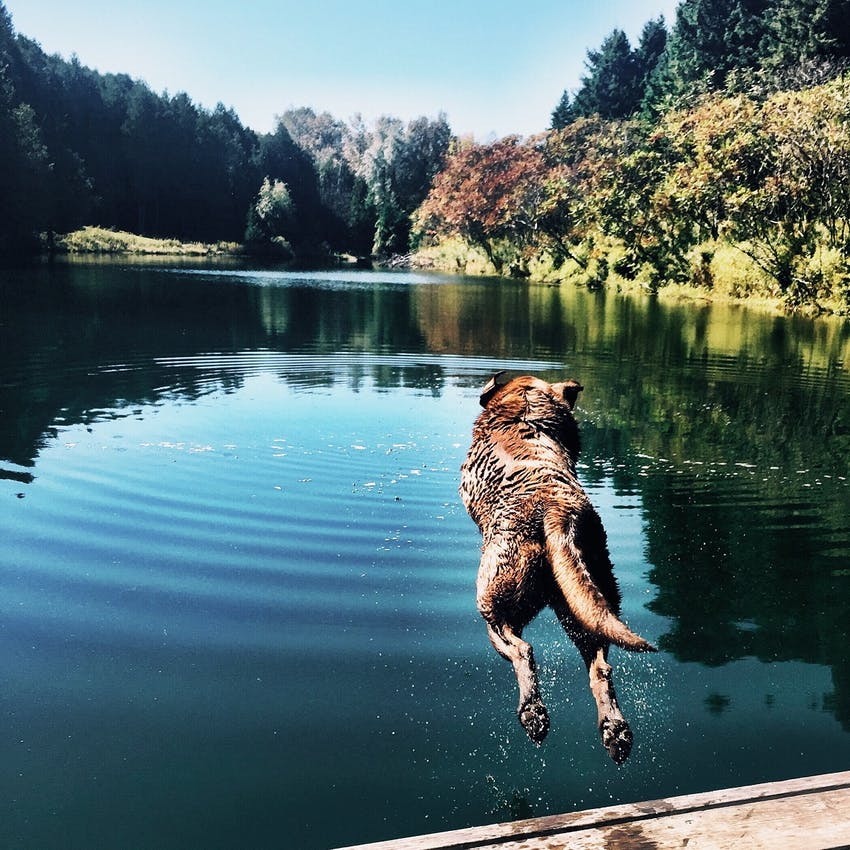Dark brown dog jumps into the lake from a pier