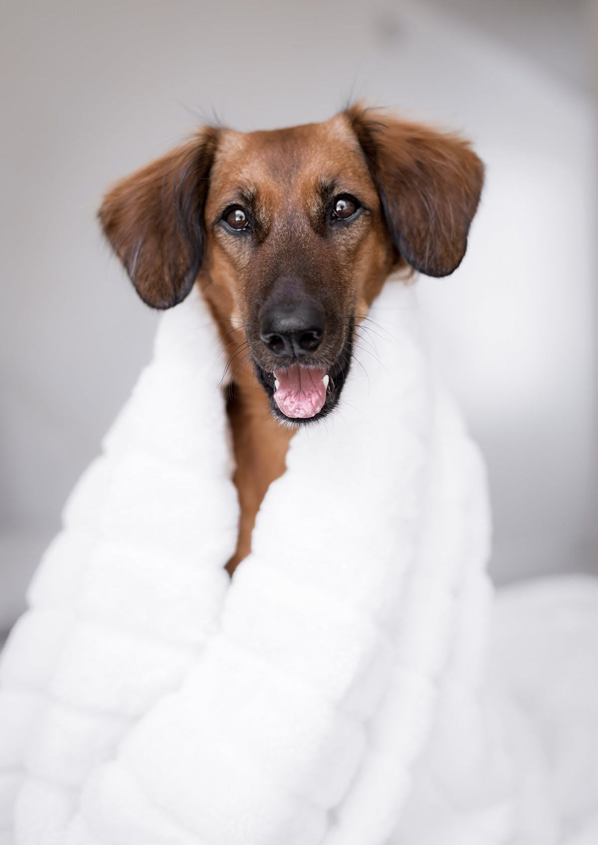 A brown dog wrapped up in a white blanket