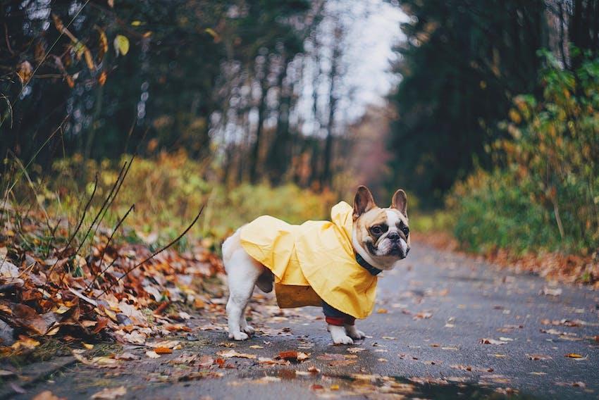 French bulldog wearing a rain jacket