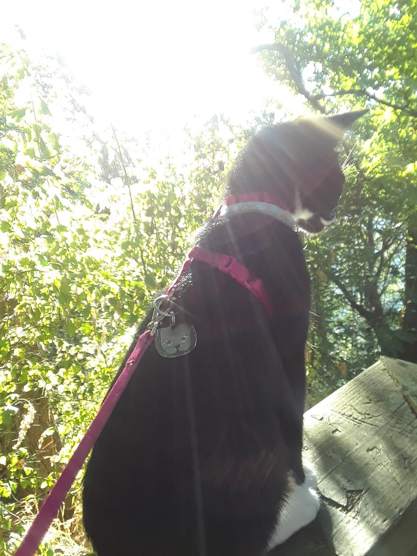 Cat wearing a harness outside in the sunshine
