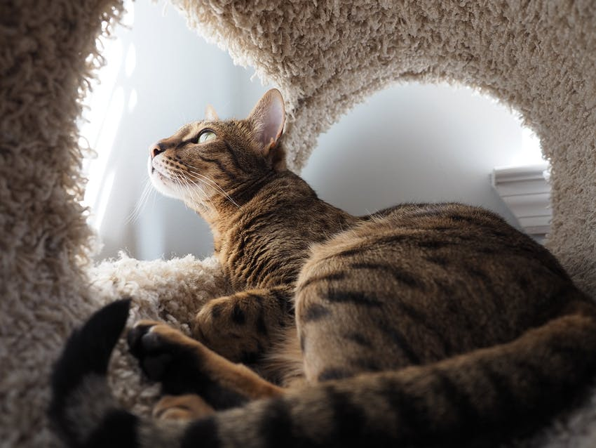 A pretty striped cats peeks outside his scratching post