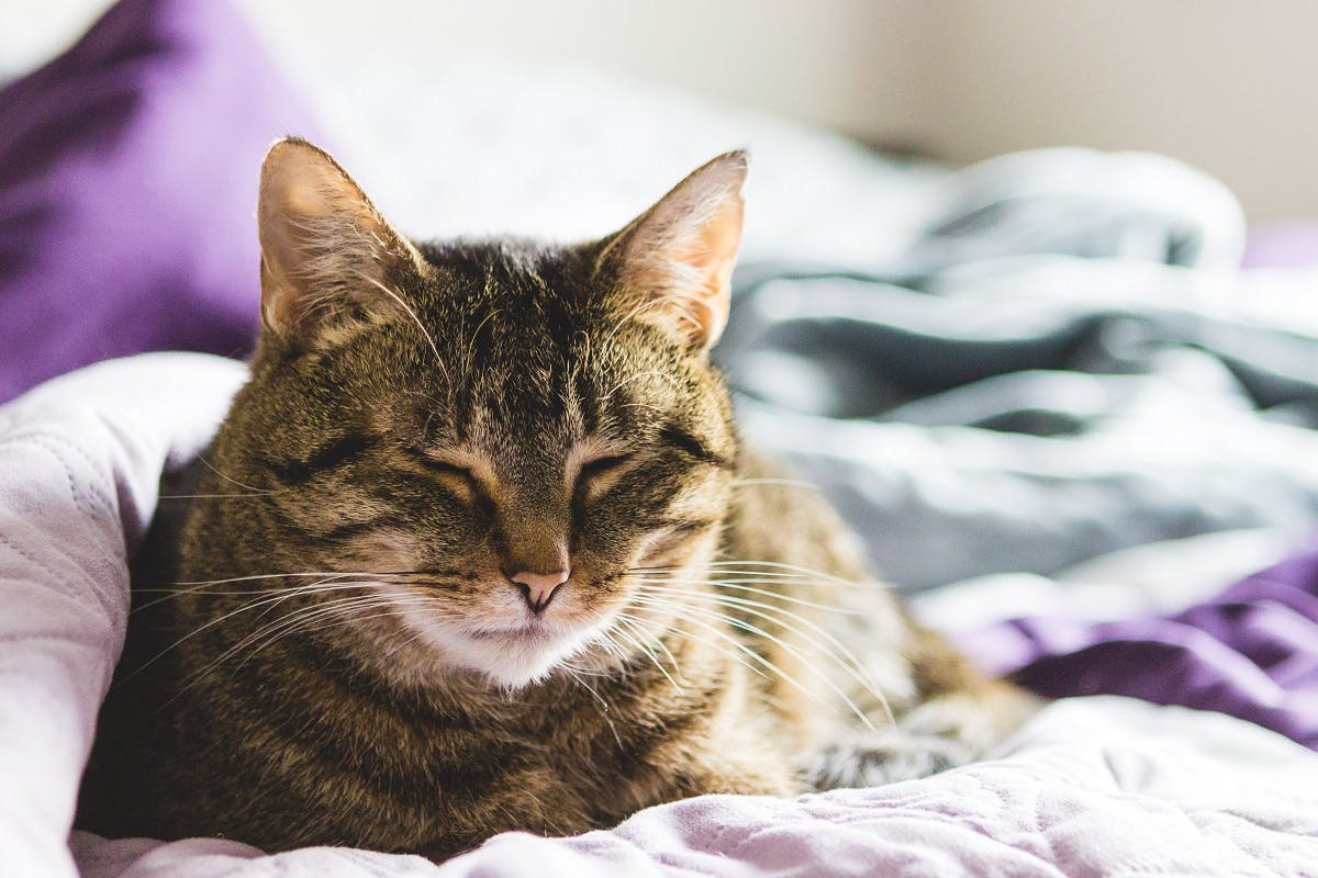 Striped cat snoozing on some purple blankets