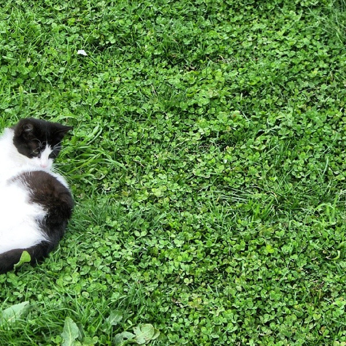A black & white cat rolls around in the grasss