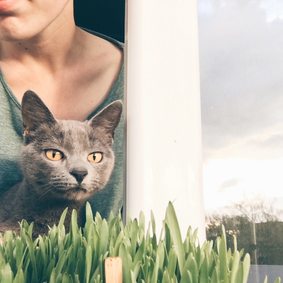 A grey cat with yellow eyes sniffs indoor plants near the window