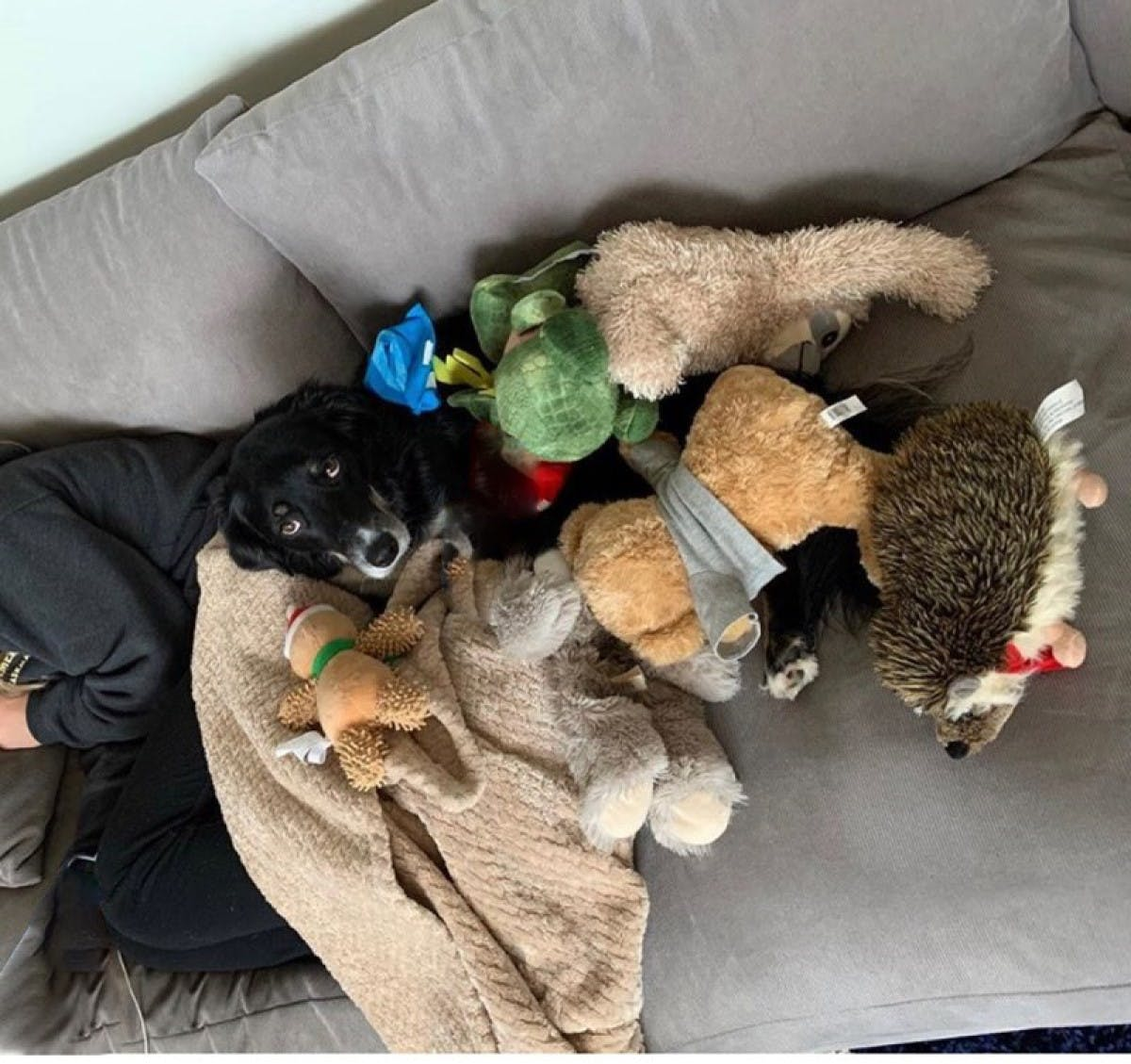 Cloe the dog on the couch surrounded by toys