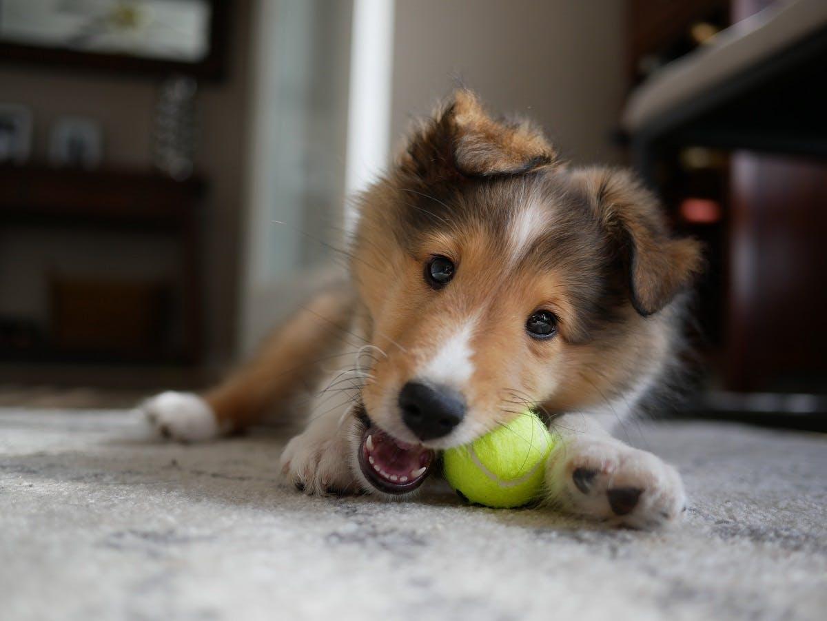 A Border Collie dog chews on a tennis ball