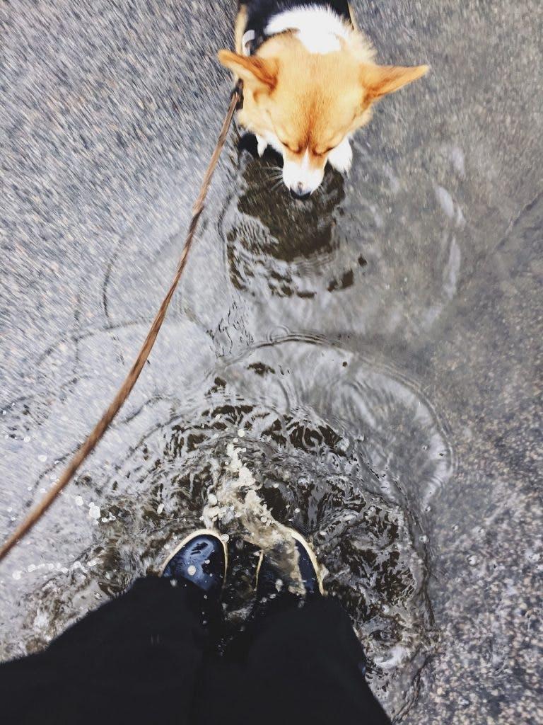 Corgi walking through the rain with his owner