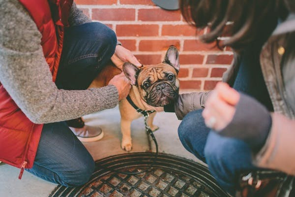 Couple petting their brown and black French Bulldog