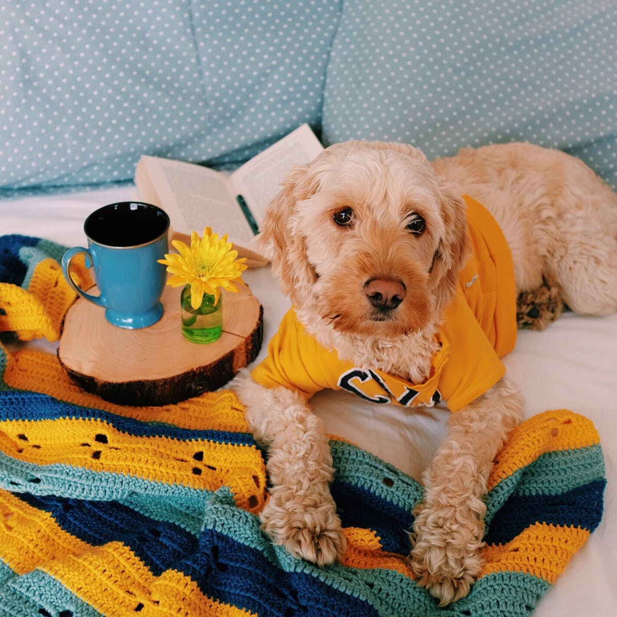 A curly haired blonde dog wearing a thundershirt