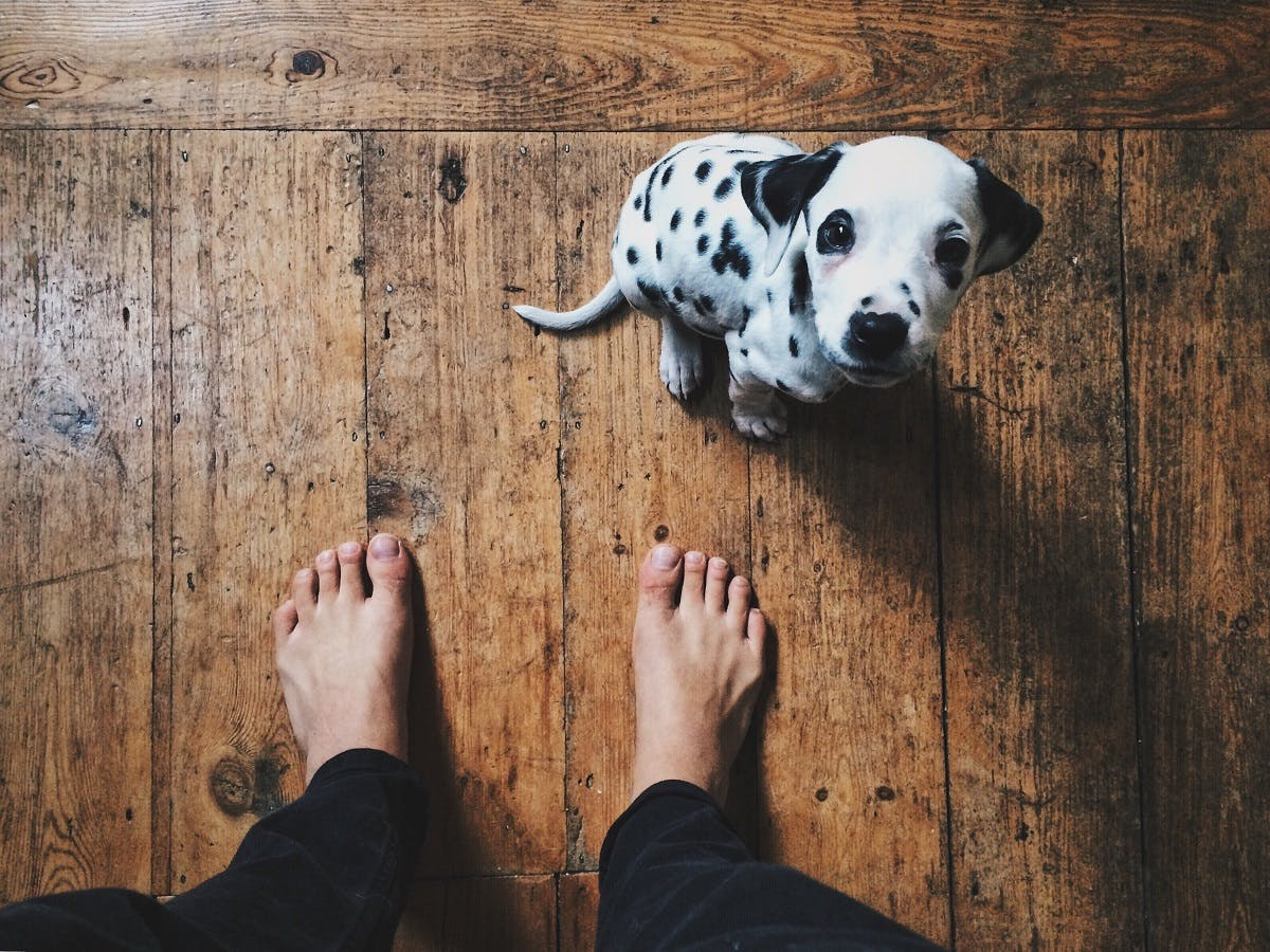 Small Dalmatian puppy standing by her owners feet