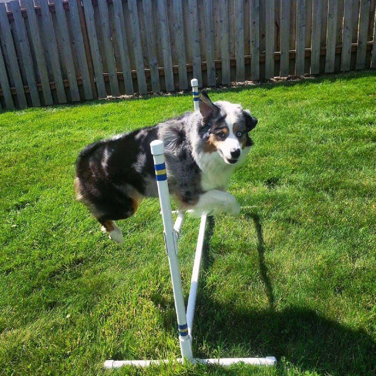 Sparrow the dog jumps in a dog agility course
