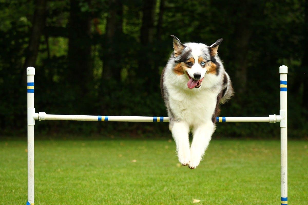 Dog sparrow leaps over pole in dog agility course