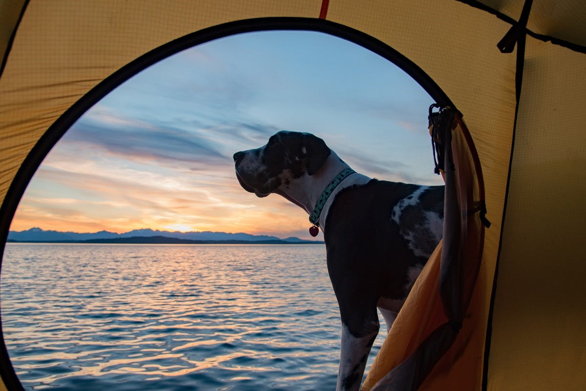 A dog looks out at the lake standing near a tent