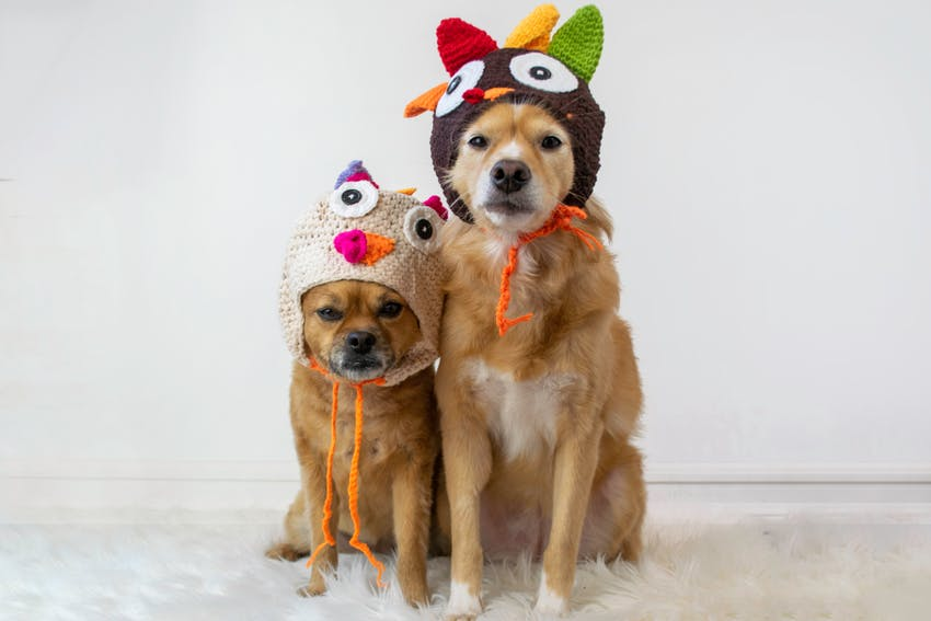 Two dogs wearing knitted Thanksgiving hats