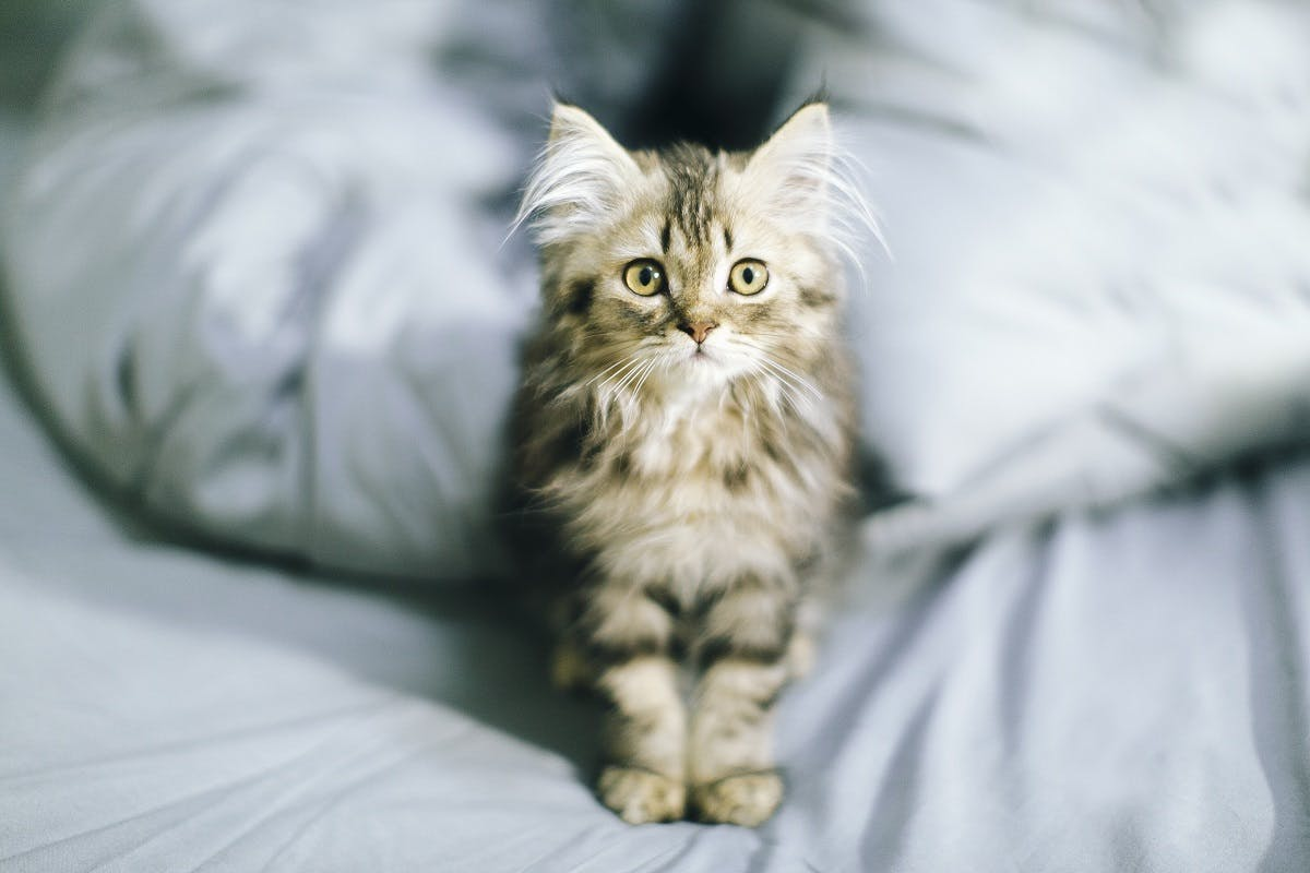 Fluffy kitten with long fur sits in a bed