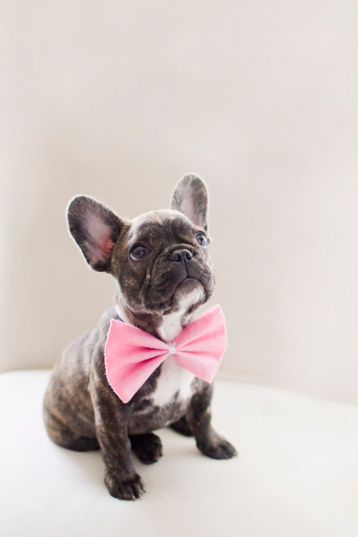 A multi-color French Bulldog wearing a bright pink bow-tie