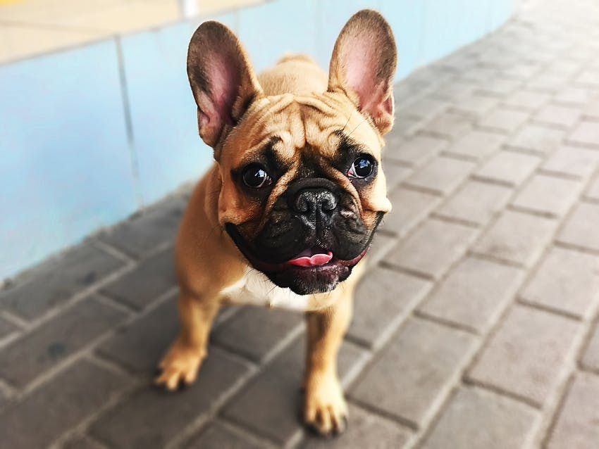 A brown and black French Bulldog sits outside on brick ground