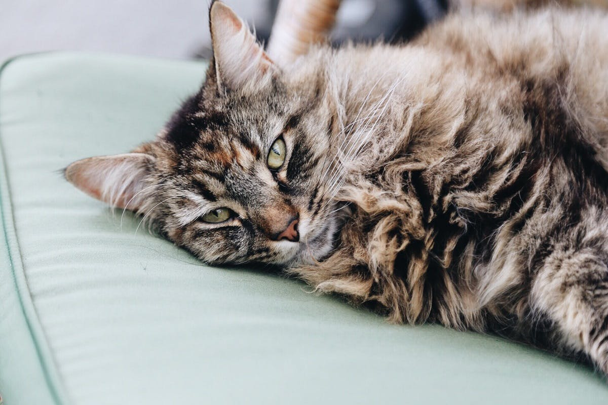 Fuzzy brown colored cat on a green couch