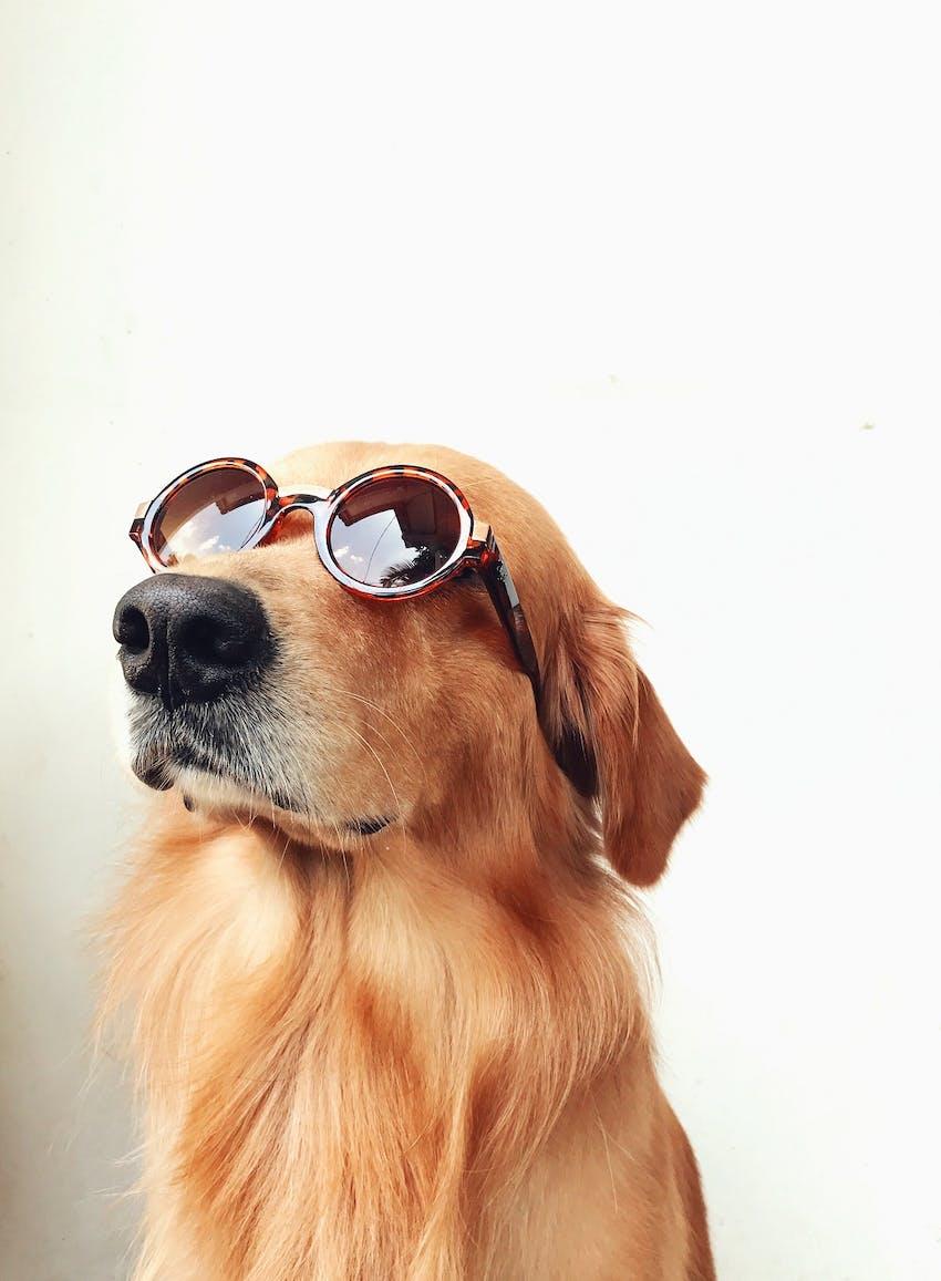 A golden retriever dog wearing sunglasses