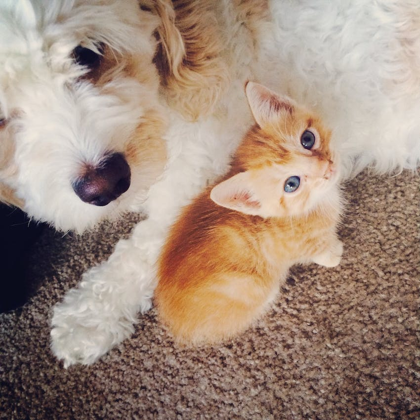 A Goldendoodle dog snuggles with a small orange kitten