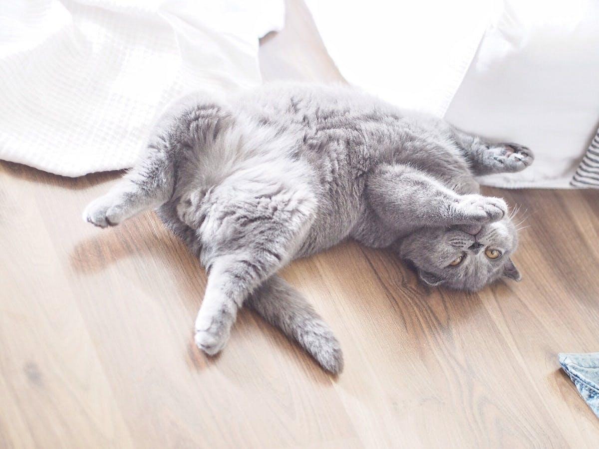 Fuzzy grey cat rolling around on the floor