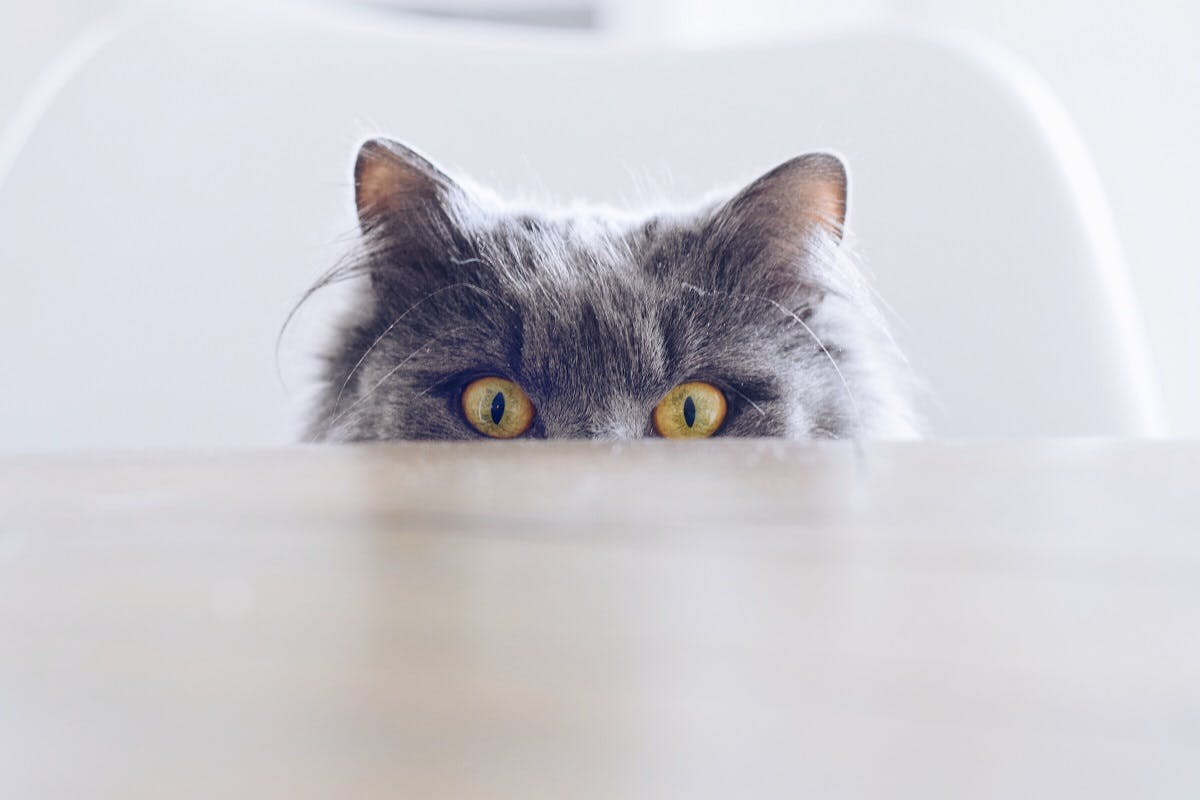 A grey fuzzy cat staring over the counter