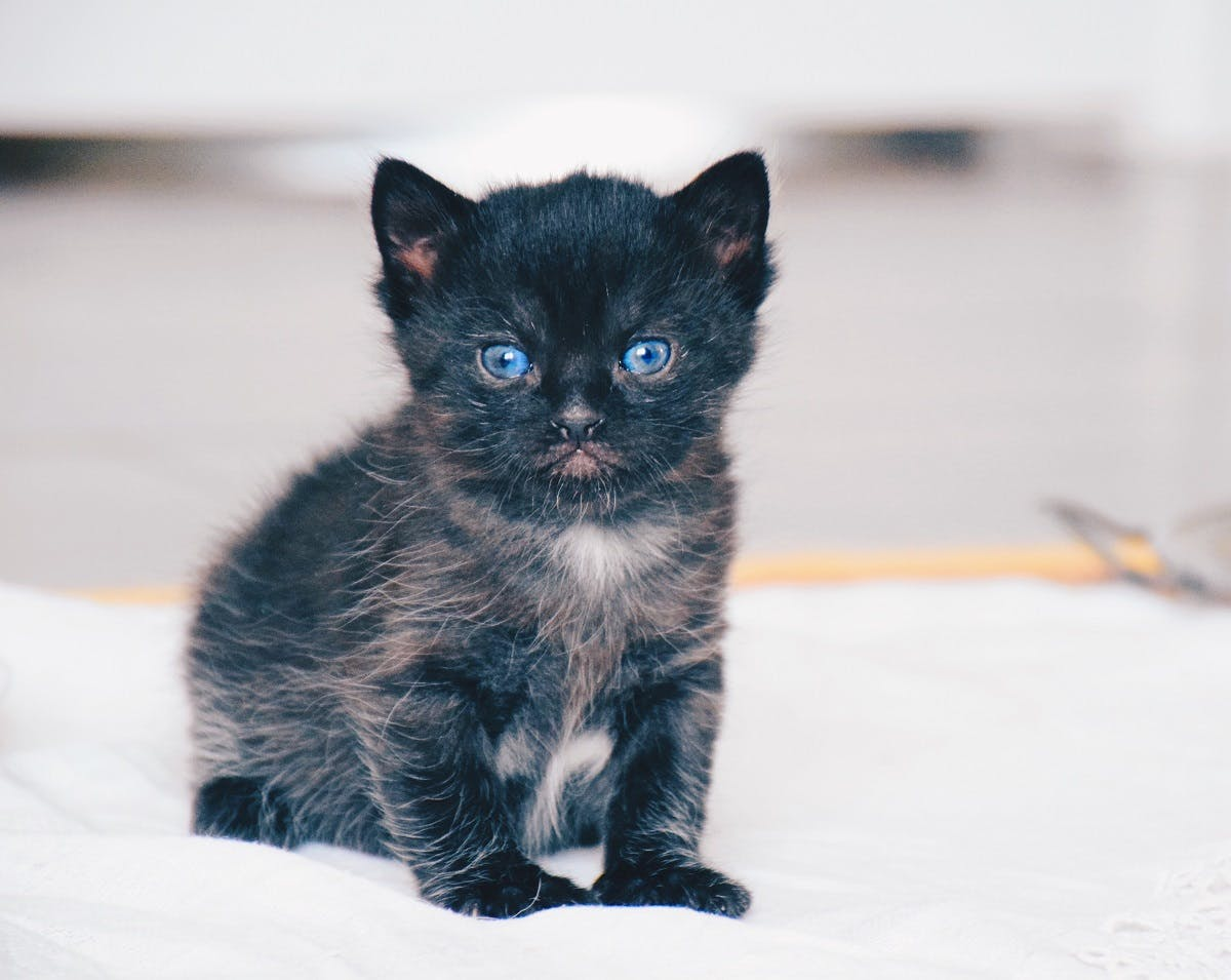 A dark-colored kitten with bright blue eyes