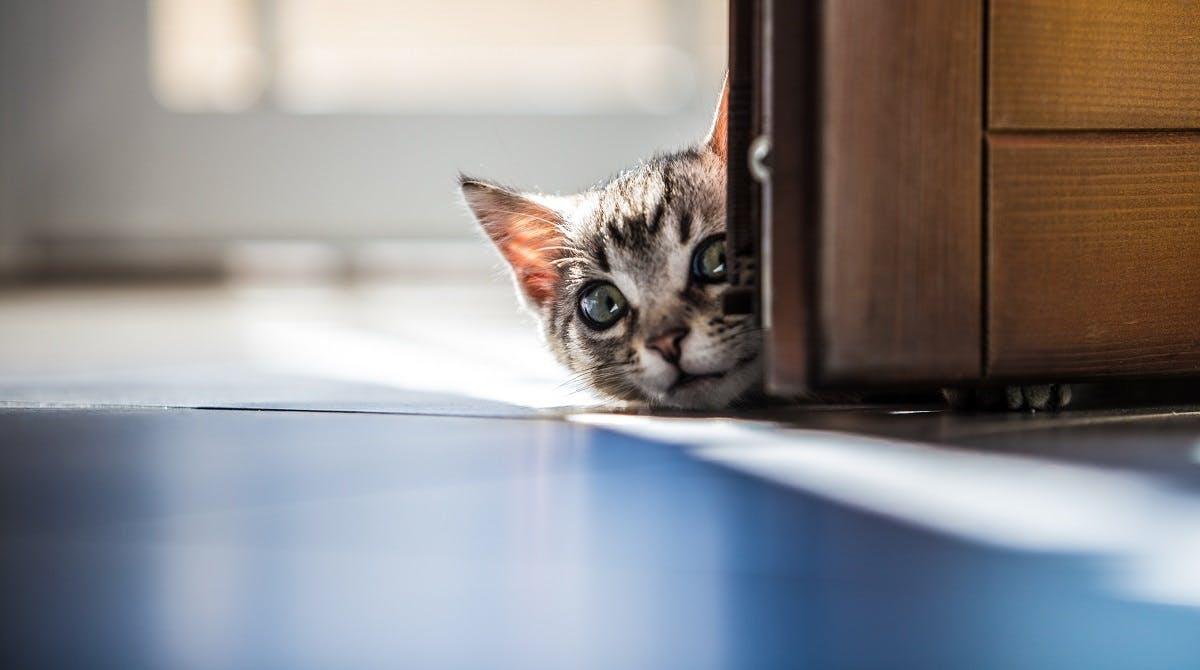 Kitten with big eyes peeks around a door