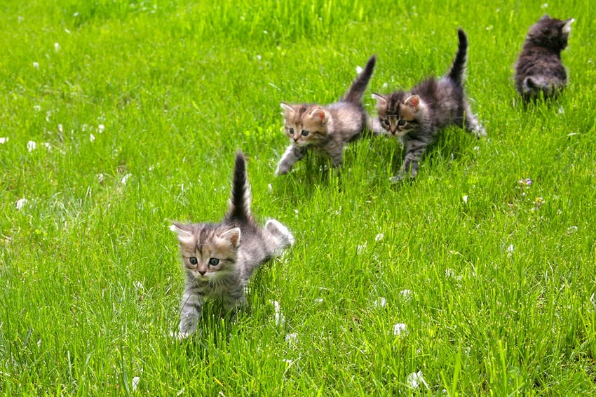 A group of kittens walking together through the green grass