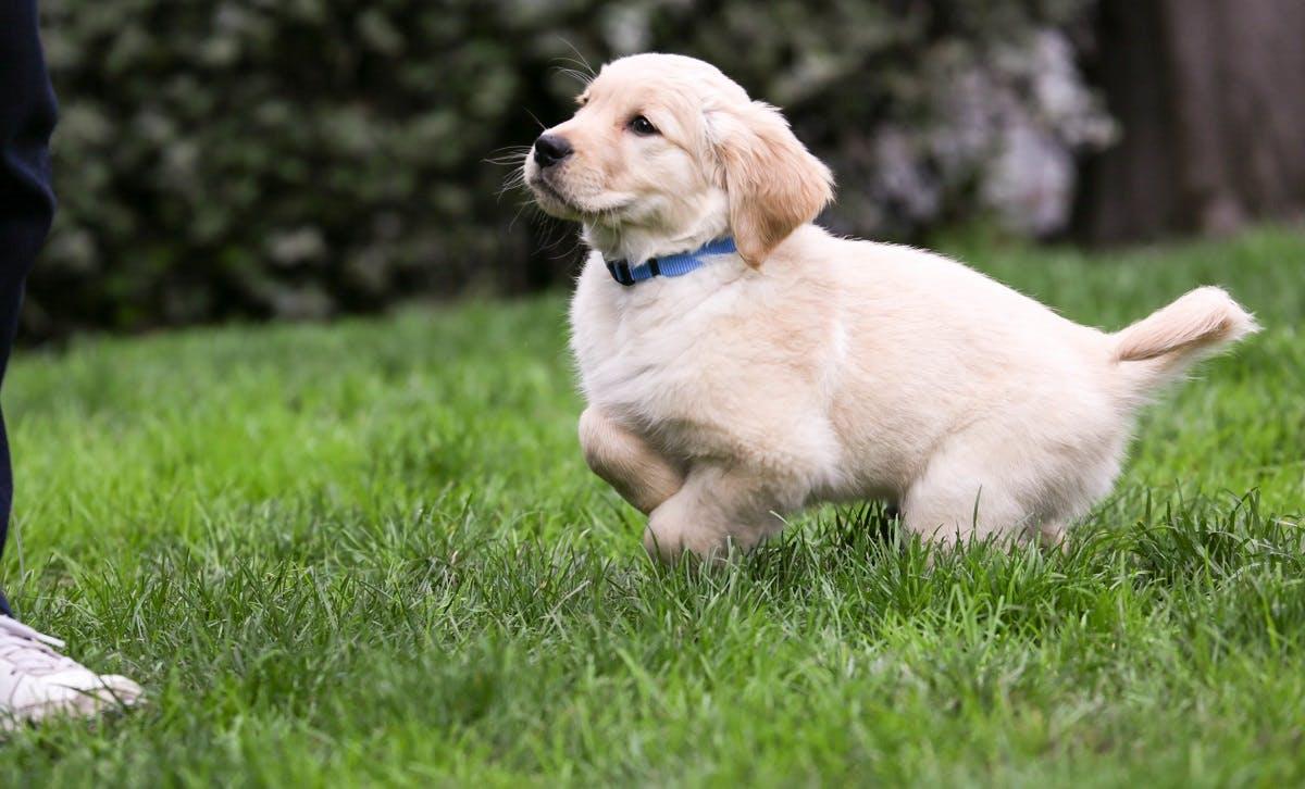 Labrador Retriever puppy with blue collar running through the grass