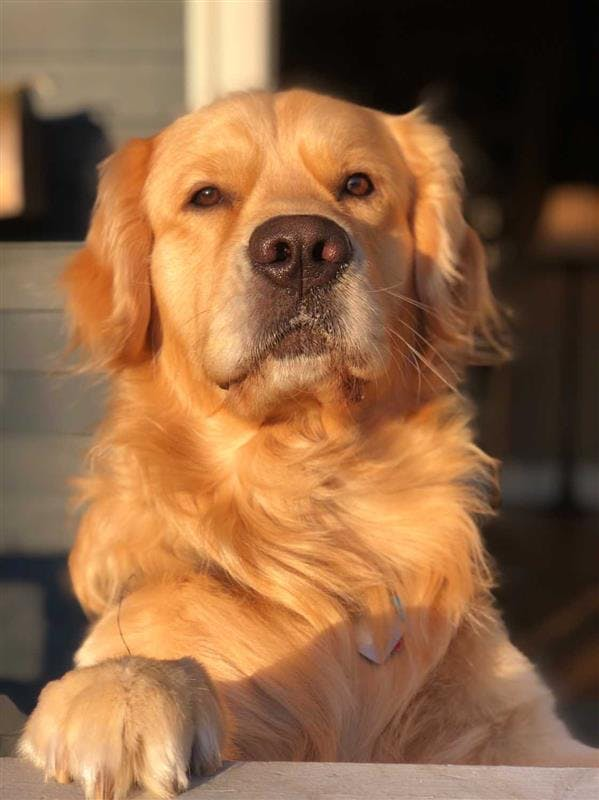 Lewis the Golden Retriever sits outside in the sunshine