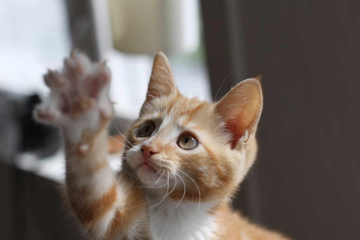 An orange and white striped kitten reaches out her paw