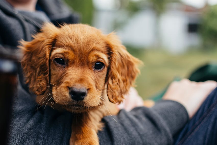 A cute puppy with red fur held by its owner