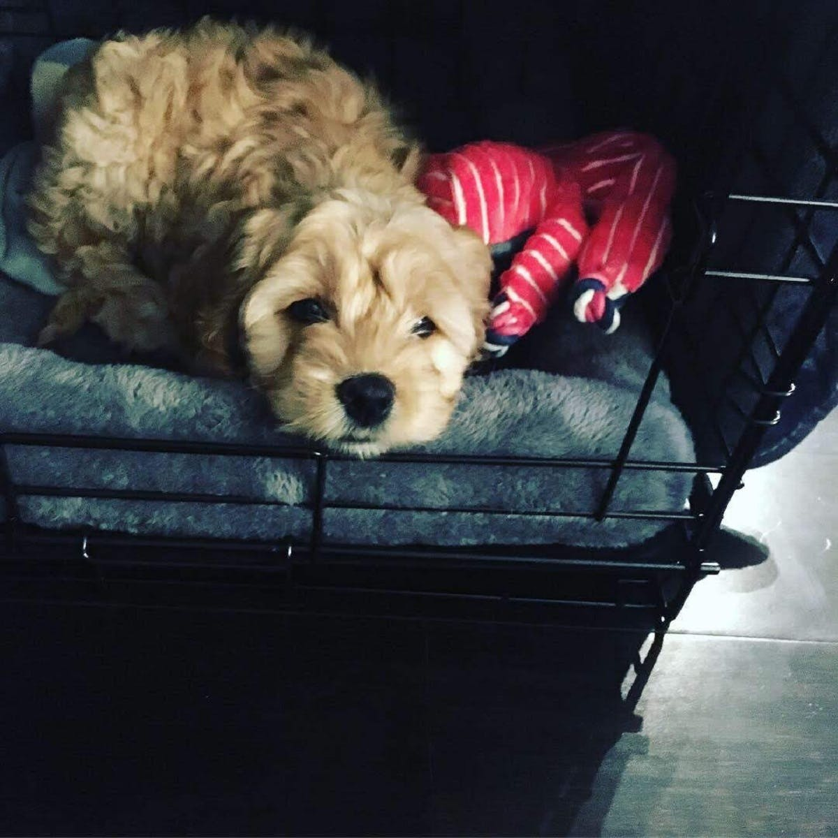 Penny the puppy sleeps in a doggy bed
