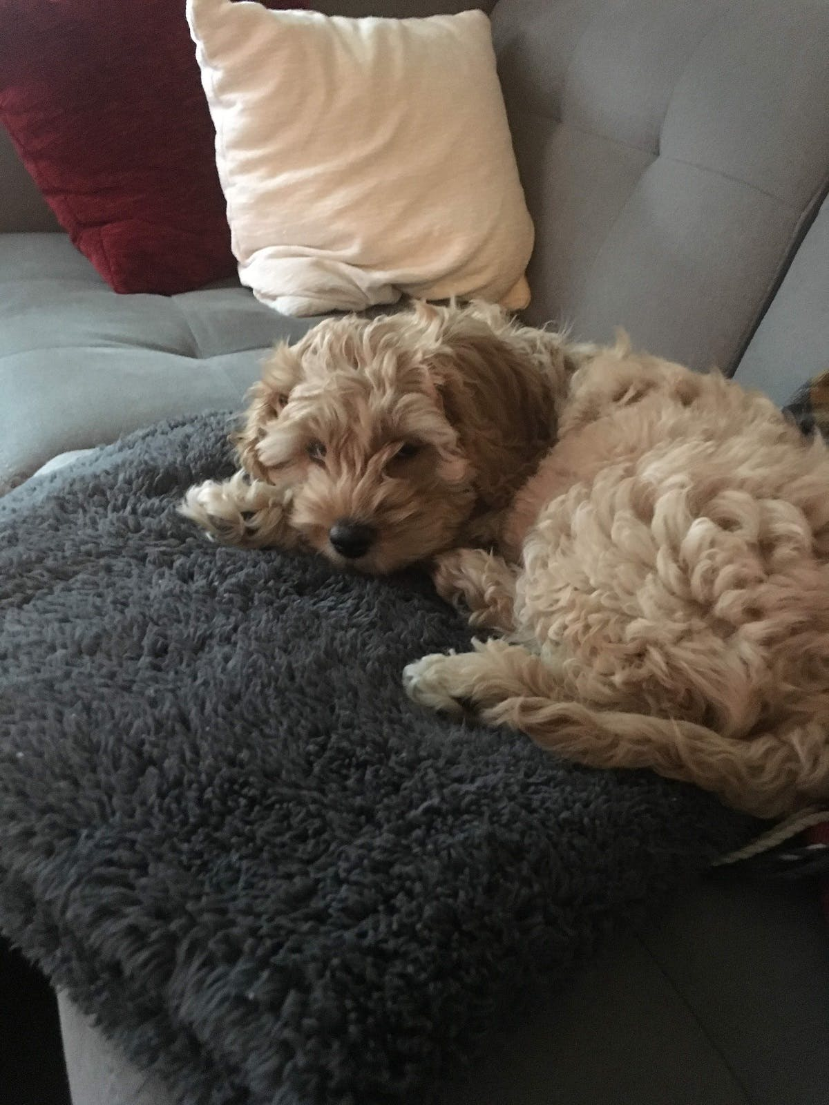 Penny the puppy snoozes on the couch