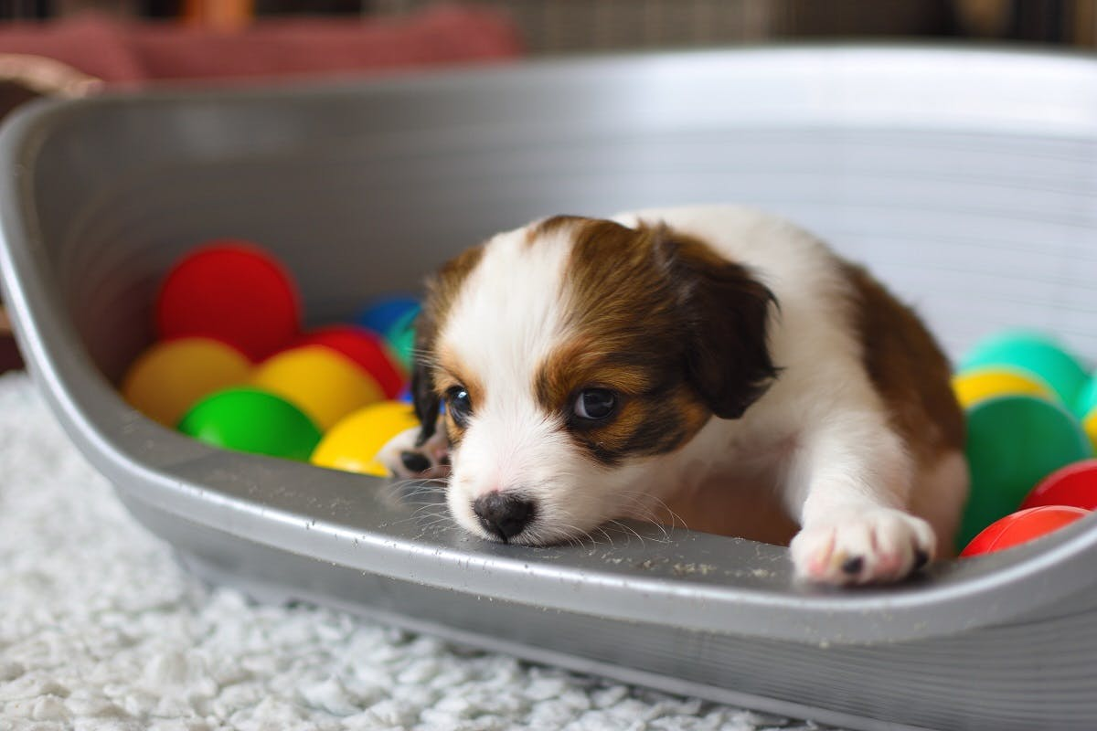 A small brown and white puppy sitting in a ball-pit