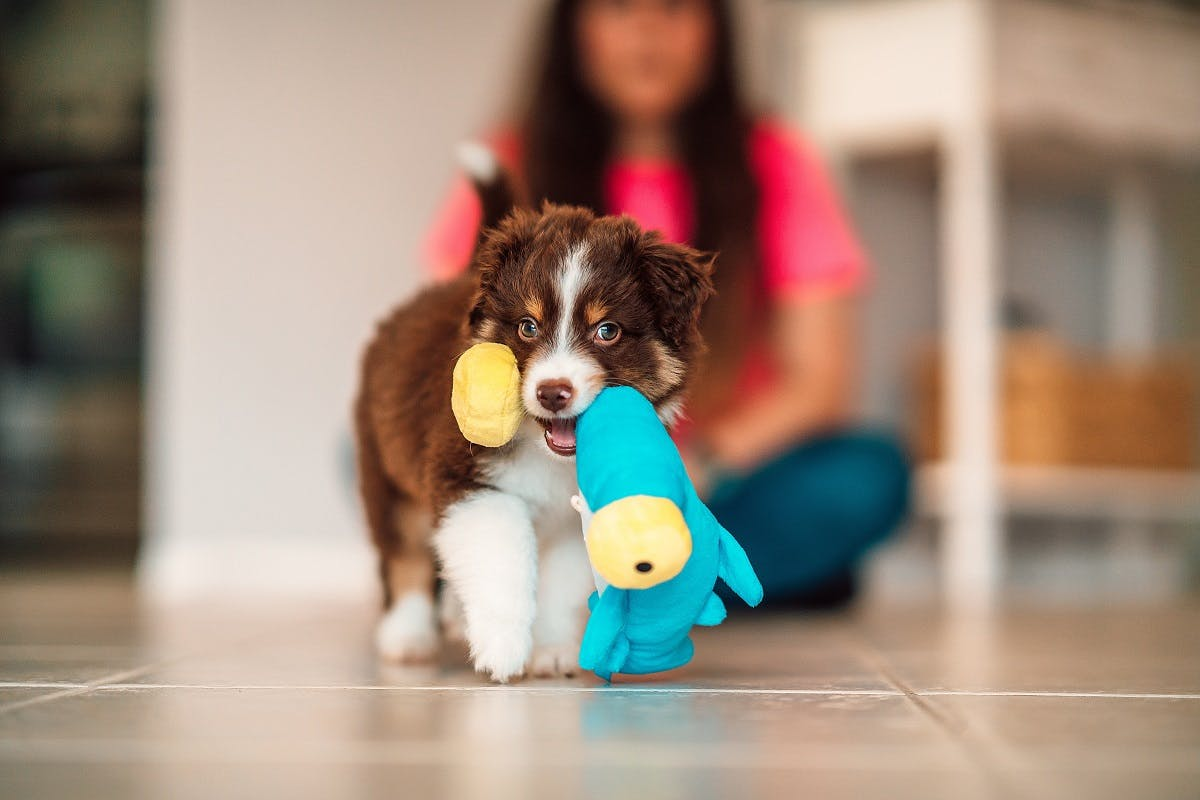 A brown and white dog carrying a toy inside the house
