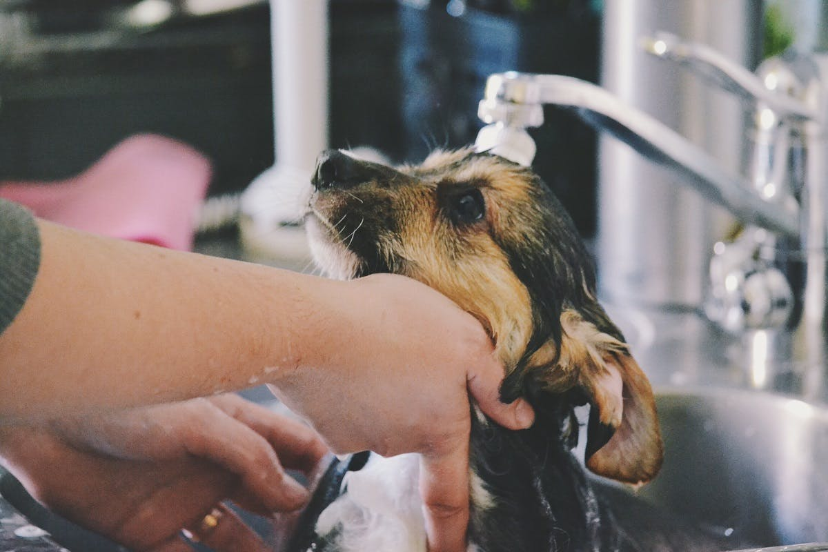Puppy gets washed in the sink by her owner