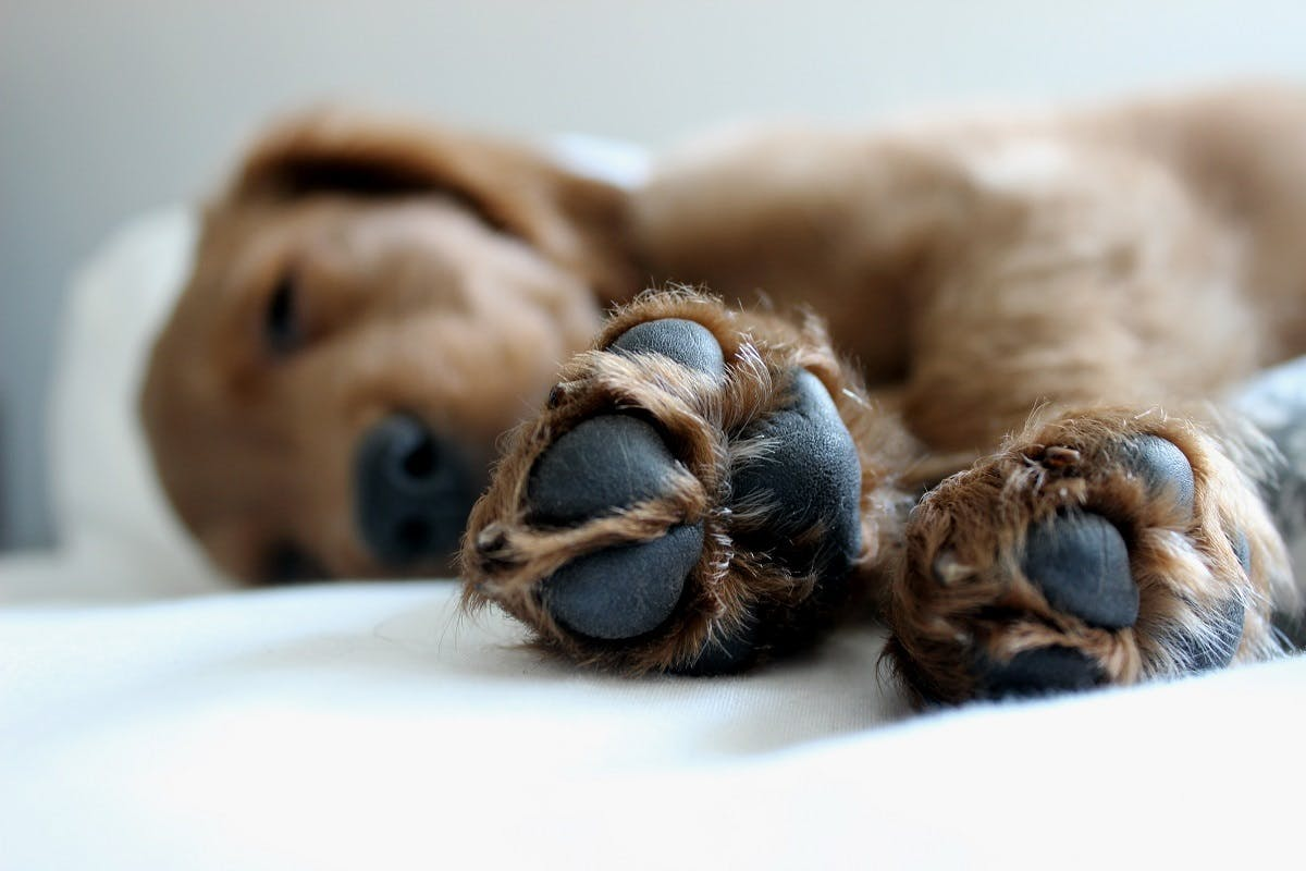 A brown puppy snoozes with his paws sticking out